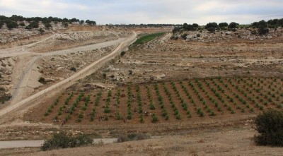 Figure 2. The low terrace of Jawafat Shaban (WQ335) in Wadi al-Bîr, with excavation trenches placed between the rows of guava trees.